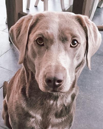 zilveren labrador belgie. the dog academy. an wesenbeek